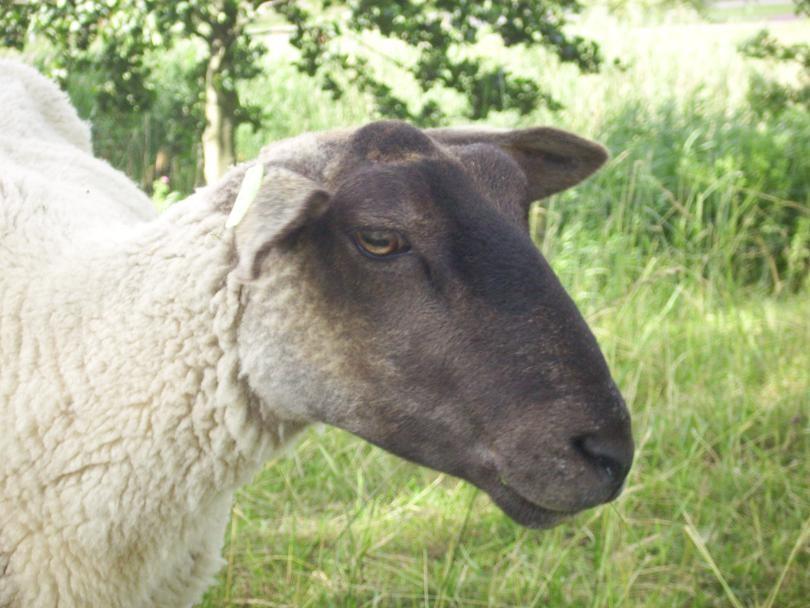 derek het schaap