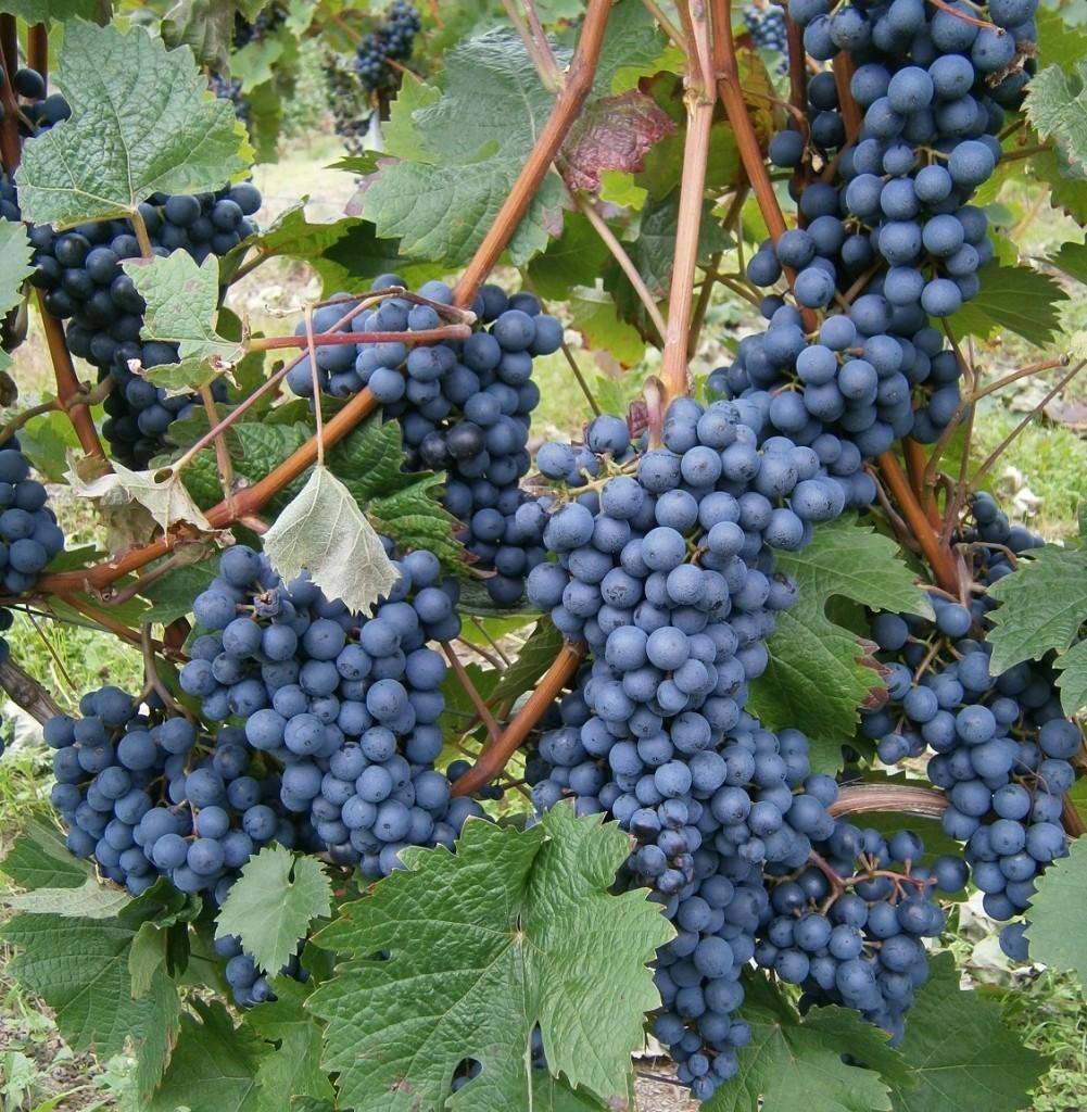Zijn we aan de ware Wijnstok verbonden voor een gezond geestelijk leven?
