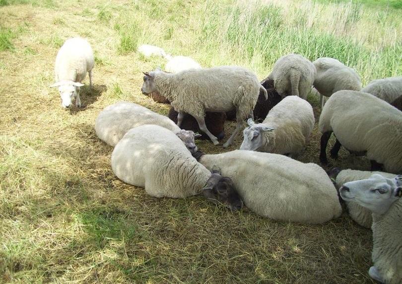 Als we geestelijk als vermoeide en belaste schapen zijn, kunnen we terecht bij de goede Herder.